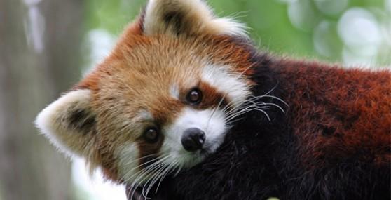 red-panda (16)