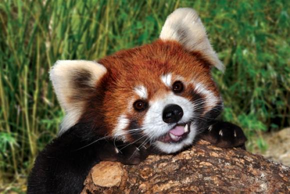 red-panda (17)