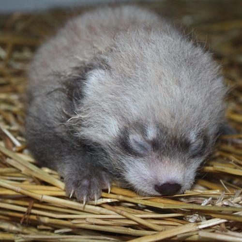 red-panda (18)