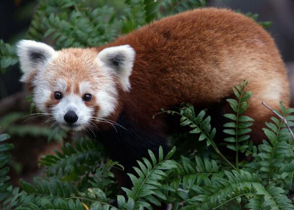 red-panda (20)