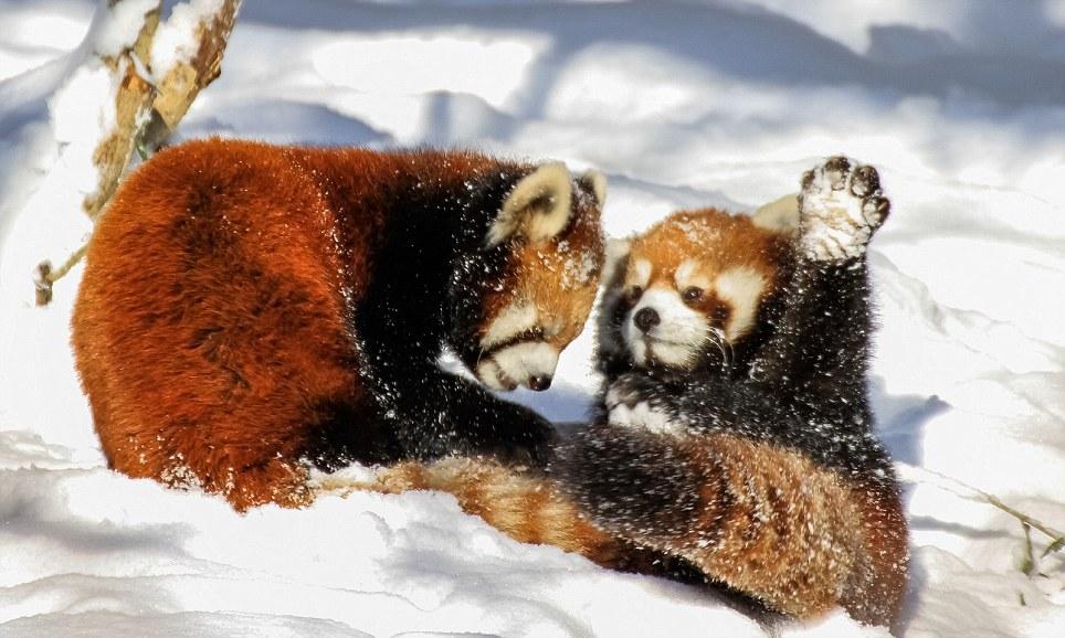 Red Panda Ruck