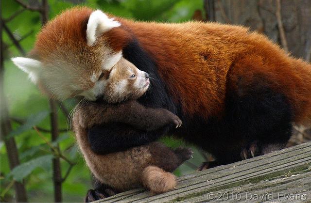 red-panda (4)