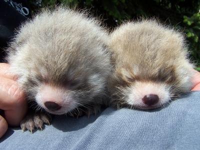 red-panda (5)