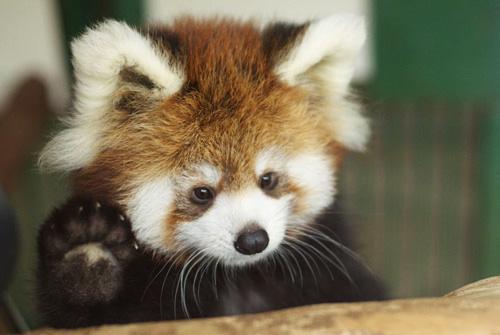 red-panda (6)