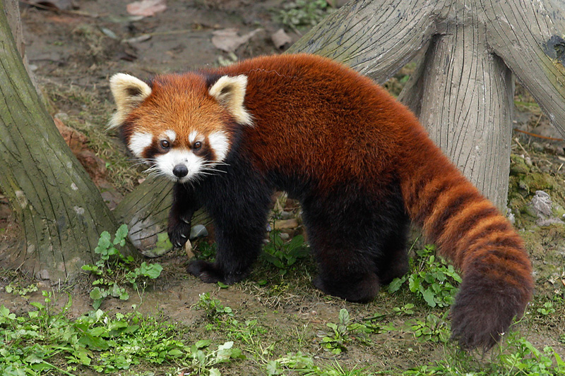 red-panda (7)