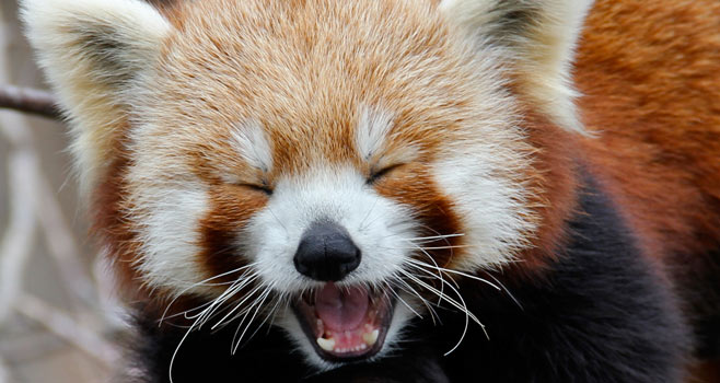 what red pandas need to grow up big and strong cuteness
