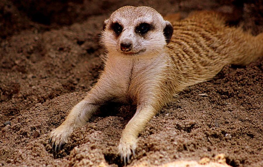 relaxing-meerkat-tam-graff