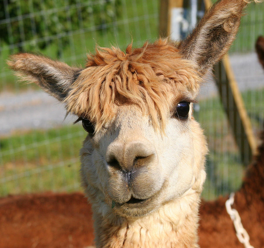 suri-alpaca-number-7-paula-tohline-calhoun