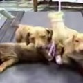 treadmill-dogs