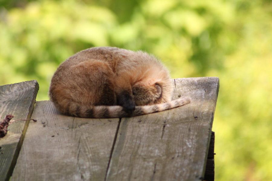 Sleeping_coati_by_CitronVertStock