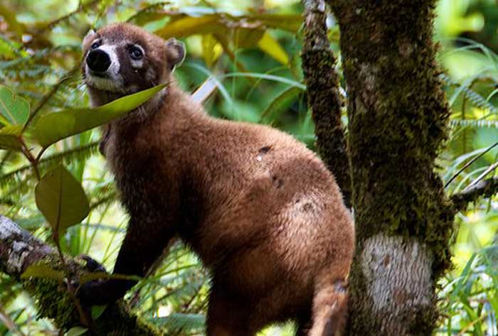White-nosed-Coati-Nasua-narica