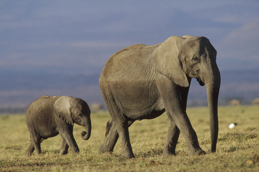 african-elephant-mother-leading-calf-tim-fitzharris