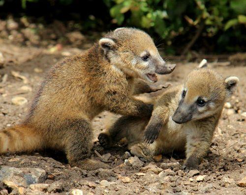 baby ring tail coati