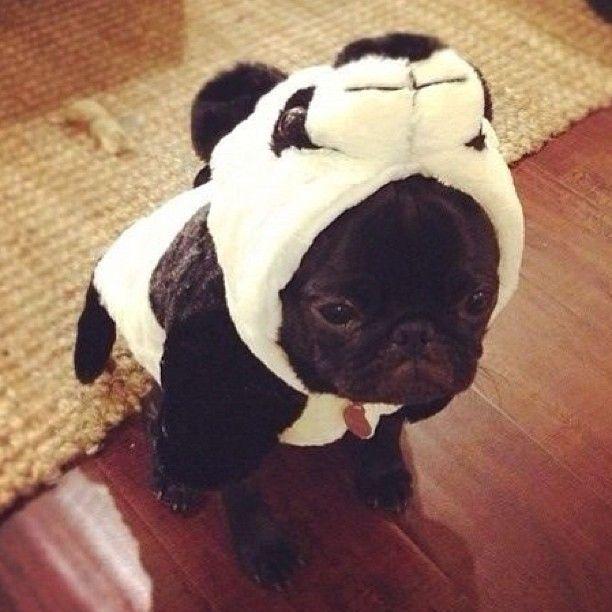 panda-pug