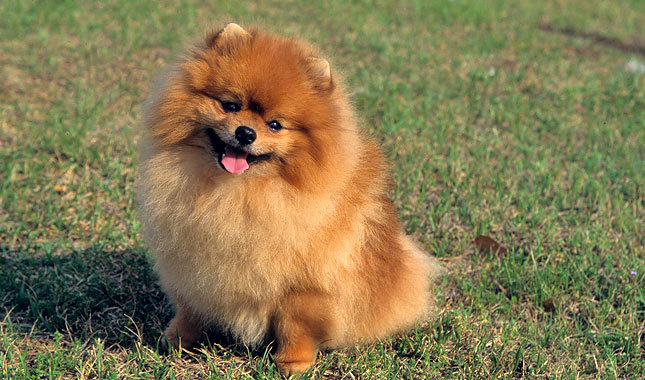 photos of pomeranian cute small dogs do you have a favorite cuteness overflow 1062