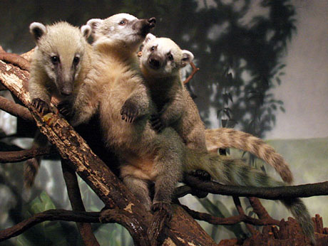 three-mountain-coatis