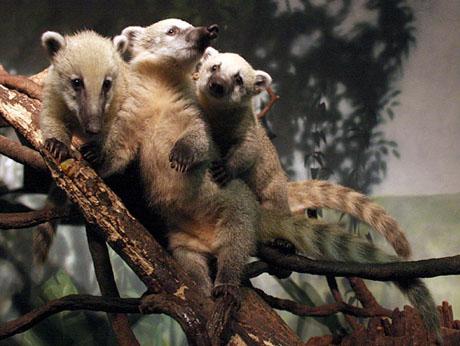three-mountain-coatis