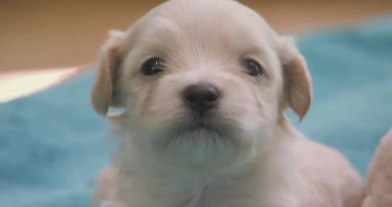 adorable-puppy