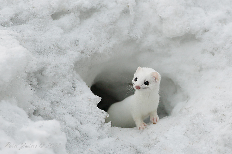 cooling off with cute arctic animals cuteness overflow