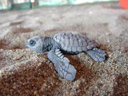 baby-turtles (10)
