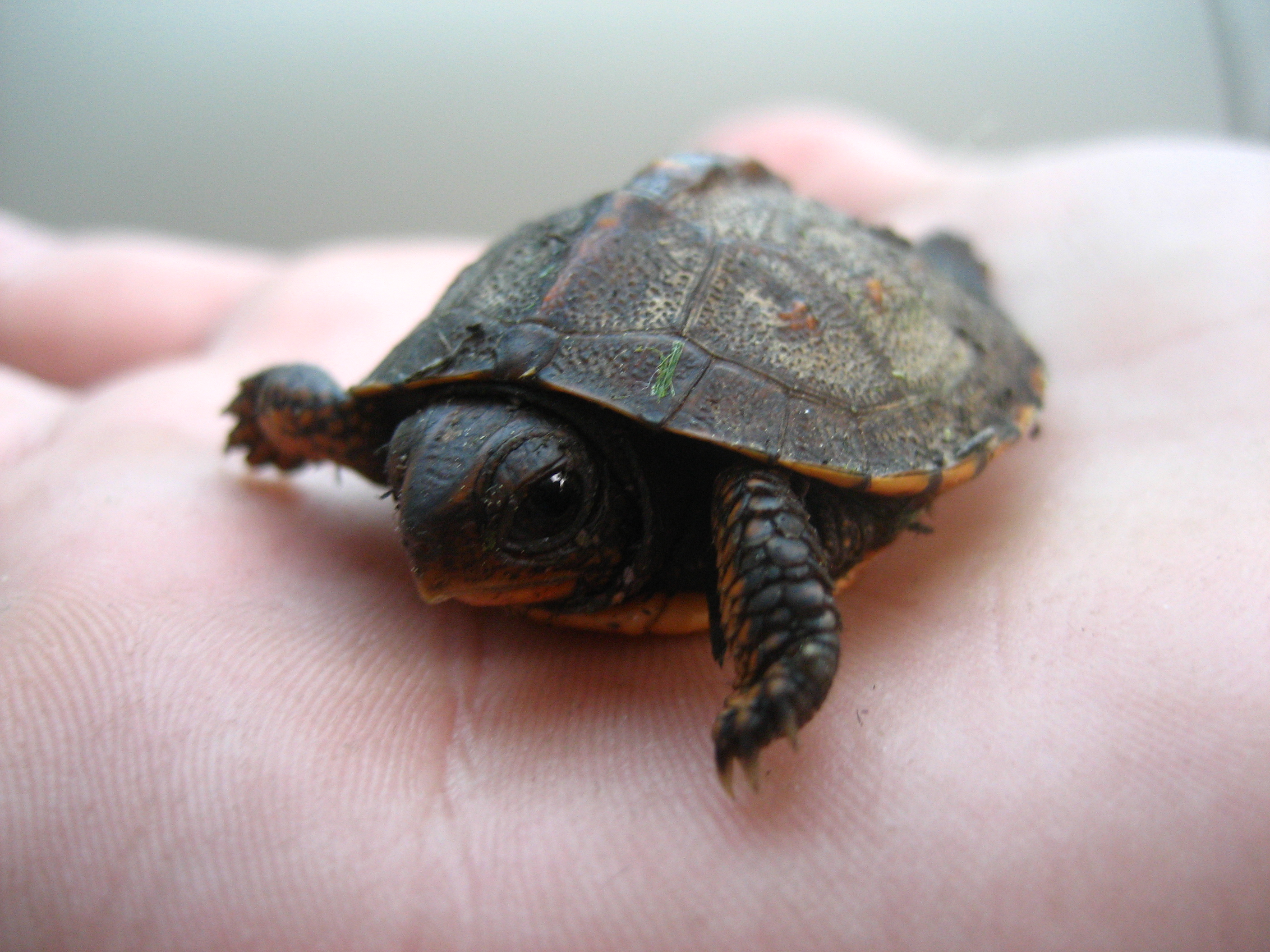 baby-turtles (3)