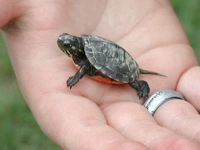 baby-turtles (7)