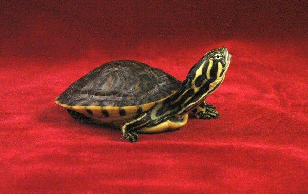 baby-turtles (8)