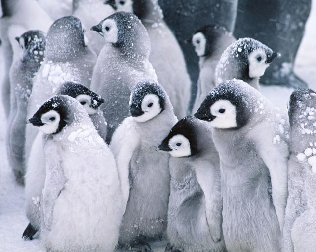 cute-arctic-penguins-hd-wallpaper-0