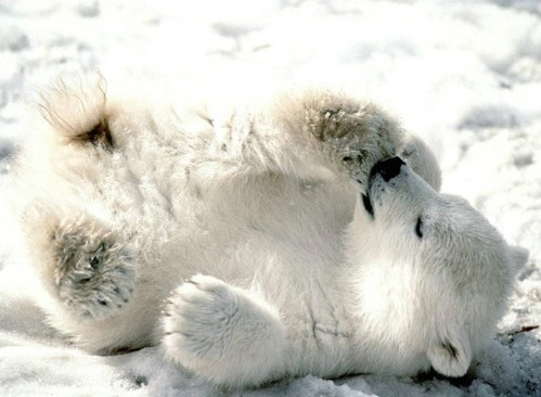 cute-polar-bear-cub