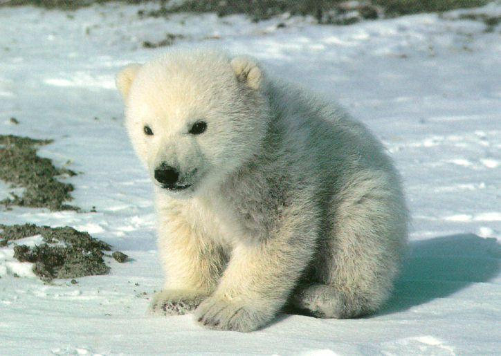 cute-polar-bear-wallpaper