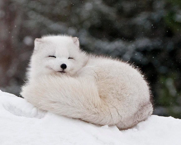 l-enough-arctic-foxes