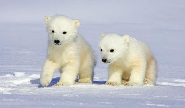 twin-bears