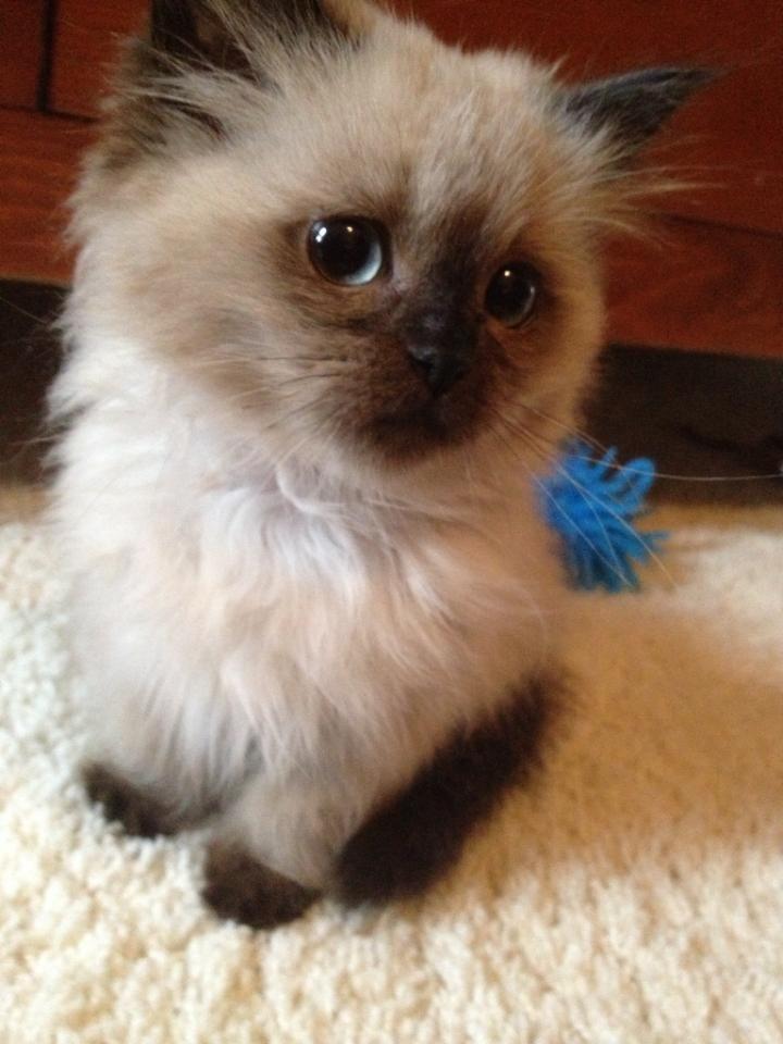 house cat that looks like a bobcat