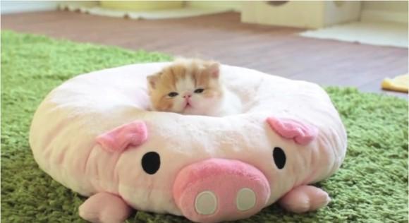 pig cushion kitten