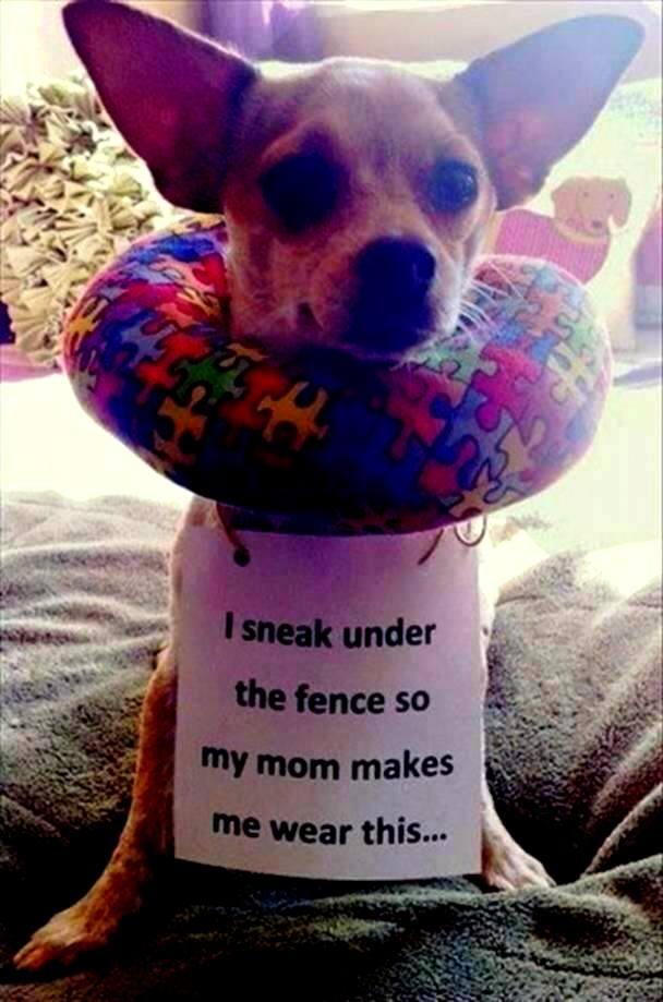 dog-shaming (6)