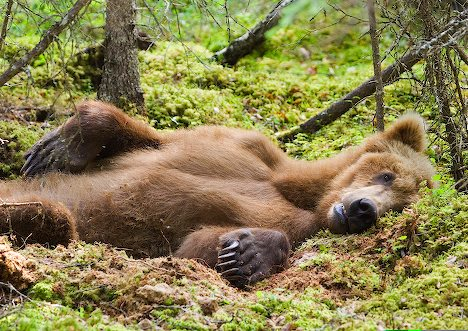 A Brown Bear rests in a daybed in Katmai National Park