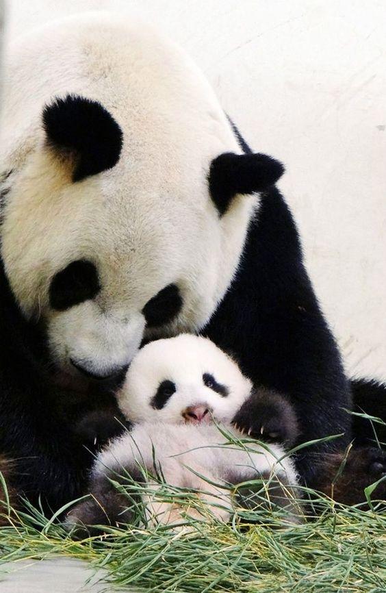 Pandas Mom and Cub