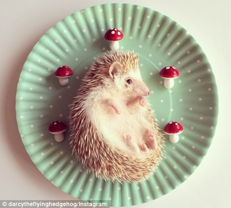 Darcy the Hedge Hog