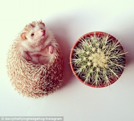 Darcy the Hedge Hog