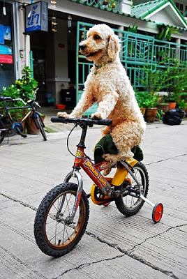 Dog on bicycle