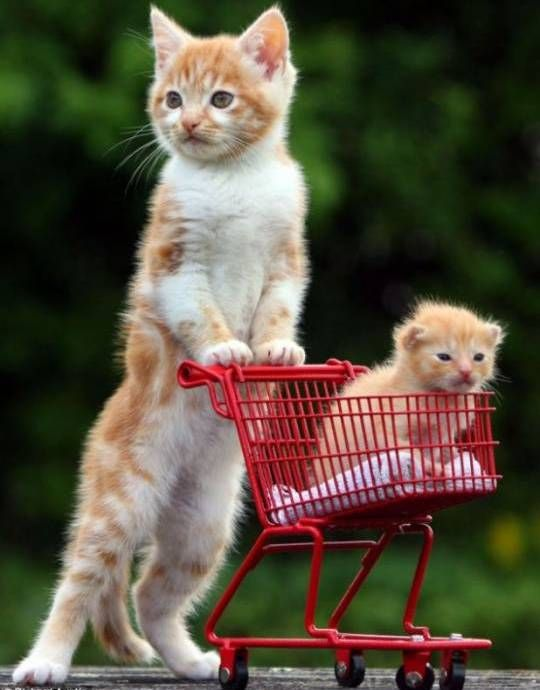 Shopping Carts Cats