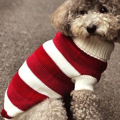 Sweater Dog