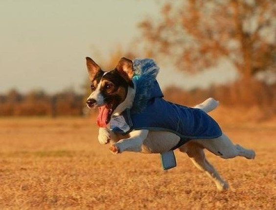 Dog running with coat