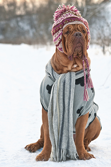 Huge 4 years old Dogue De Borgeaux dressed with pink hat and grey scarf and sweater sitting on a snow attentivly looking fat into the distance