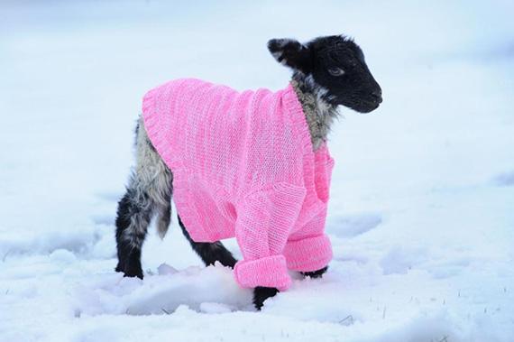 Sheep Jacket