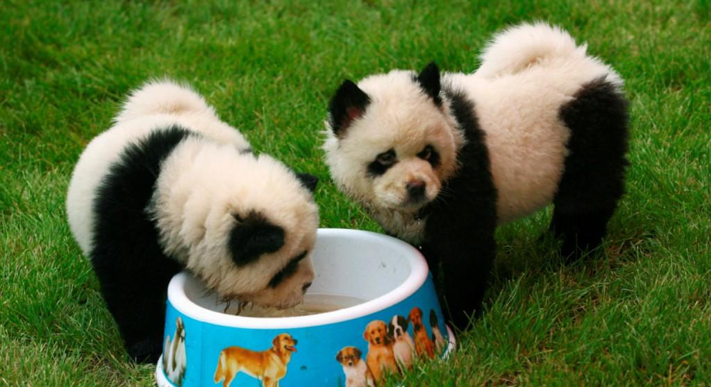 chow-chow-panda1