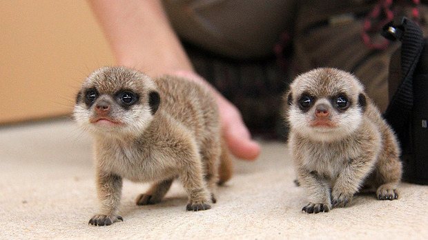 meerkat-3_3567190b
