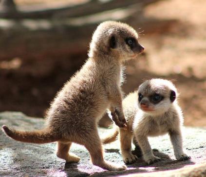 meerkats-exploring