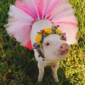 Hamlet The Pig
