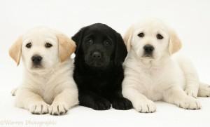 Yellow and black Goldador Retriever pups